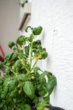 Plante de tomate sur le balcon d'un appartement Photos stock