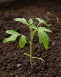 Plante de tomate verte Images libres de droits