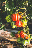 Plante de tomates de coeur de boeuf dans le jardin, s'élevant Images libres de droits