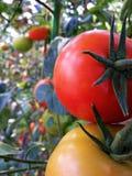 Plante de tomates fraîche en serre chaude Photographie stock