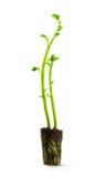 Plante des pommes de terre Image libre de droits