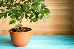 Plante el benjamina en un pote marrón que se coloca en la tabla azul de madera delante de la pared sin pintar, estilo rústico nat imágenes de archivo libres de regalías