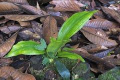 Plante el brote en humus del piso del bosque Fotografía de archivo