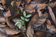 Plante el brote en humus del piso del bosque Fotos de archivo