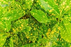 Plante en pot jaune et verte de feuilles, fond vert frais de feuille Image stock