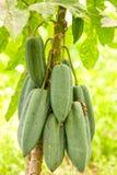 Plante fruitière de Babaco Photographie stock