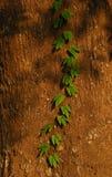 Plante grimpante Photographie stock libre de droits