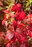 Plante grimpante de la Virginie Photo stock