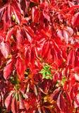 Plante grimpante de la Virginie en automne Image libre de droits