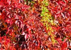Plante grimpante de la Virginie en automne Photo libre de droits