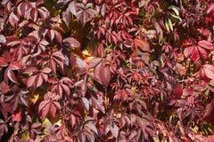 Plante grimpante de la Virginie en automne Image stock
