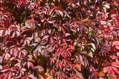 Plante grimpante de la Virginie en automne Photographie stock libre de droits