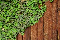 Plante grimpante de lierre sur la frontière de sécurité en bois rustique Photos stock