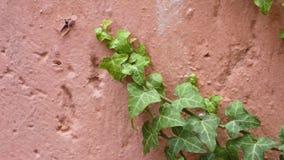 Plante grimpante de mur Photos stock
