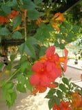 Plante grimpante de trompette photo libre de droits