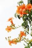 Plante grimpante de trompette photos libres de droits