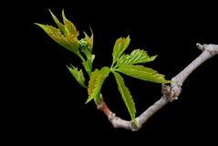 Plante grimpante de Virginie Image stock