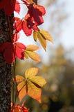 Plante grimpante de Virginie avec les feuilles rouges dans l'upp s'élevant de contre-jour un arbre Photos stock