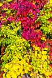 Plante grimpante de Virginie colorée en automne Photographie stock libre de droits