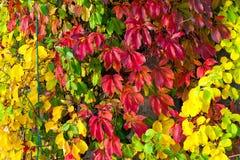 Plante grimpante de Virginie colorée en automne Photo stock