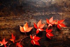 Plante grimpante de Virginie colorée d'automne Images libres de droits