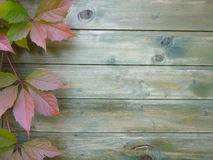 Plante grimpante de Virginie dans l'automne Photographie stock