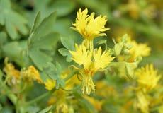 Plante grimpante jaune canari photographie stock