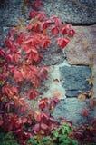 Plante grimpante sur un mur en pierre Images libres de droits