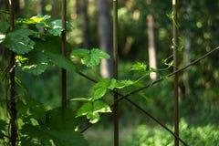 Plante a hera com um broto fresco dos jovens na cerca do ferro foto de stock royalty free