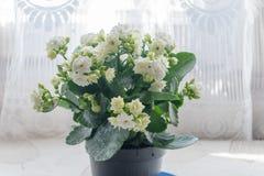Plante herbacée et généralement cultivée de blossfeldiana blanc de Kalanchoe de maison du genre indigène de Kalanchoe au Mad photo stock