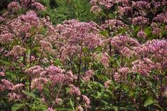 Plante a Joe Pye rosado con los brotes intactos, primer Fotografía de archivo