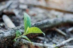 Plante l'élevage des racines Photos stock