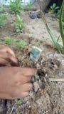Plante l& x27;argent au sol