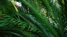 Plante la paume de tiges de long vert, tir en gros plan clips vidéos