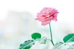 Plante la rosa en un pote en la ventana Fotos de archivo
