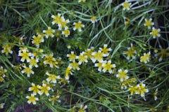 Plante Limnanthes con las pequeñas flores blancas y amarillas Fotografía de archivo