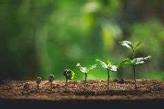 Plante los almácigos del café en primer de la naturaleza de la planta verde fresca foto de archivo libre de regalías