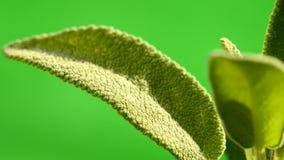 Plante médicinale et épice sages, feuilles banque de vidéos
