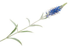 Plante médicinale : Incana de Veronica images libres de droits