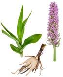 Plante médicinale : Orchidée - fushsii de Dactylorhiza Image libre de droits