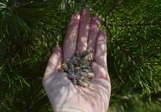 Plante a mola fresca do close up do verde da plântula do pinho da floresta do rim da agricultura da baga da mão que guarda o ambi Fotografia de Stock Royalty Free