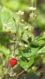 Plante morangos com flores, as bagas verdes e fruto maduro Fotografia de Stock Royalty Free