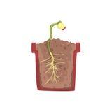 Plante o crescimento da semente de um feijão em um potenciômetro com solo à terra, fase do crescimento, potenciômetro em uma ilus Fotografia de Stock