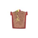 Plante o crescimento da semente de um feijão em um potenciômetro com solo à terra, fase do crescimento, potenciômetro em uma ilus Foto de Stock