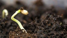 Plante o crescimento no solo Imagens de Stock