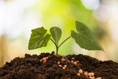 Plante o cuidado e fertilize as árvores foto de stock