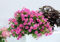 Plante ornementale de bac de pétunia Images stock