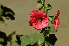 Plante ornementale de rose trémière commune, rouge-clair colorée photos stock