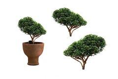 Plante ornementale qui est dans le pot de fleurs d'isolement Photo stock
