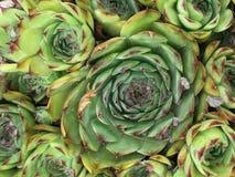 Plante que olhares como a couve Imagens de Stock Royalty Free